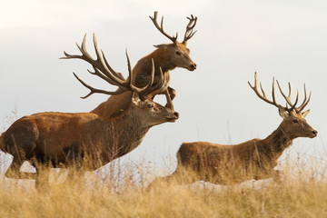 Poster Cerf red deers on the run