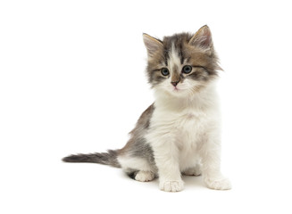 little fluffy kitten sits on a white background close-up