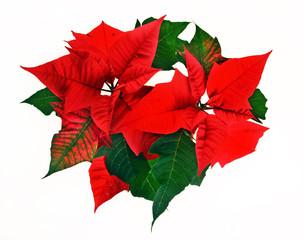 Red poinsettia. Christmas flower on white background