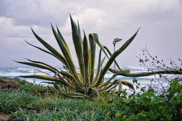 An agave at a seaside of Mediterranean Sea
