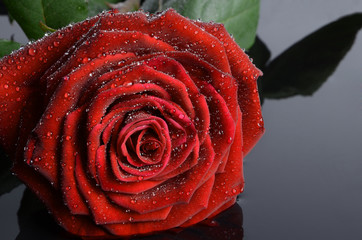 Red rose with rain drops