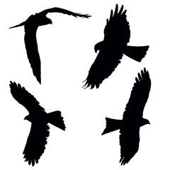 Pariah kite