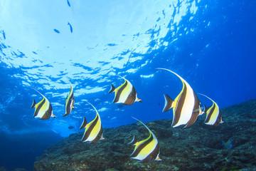 Fish school underwater coral reef Moorish Idols