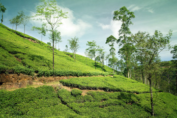 Wall Mural - beautiful tea plantation landscape