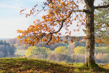 Oak tree with orange autumn leaves