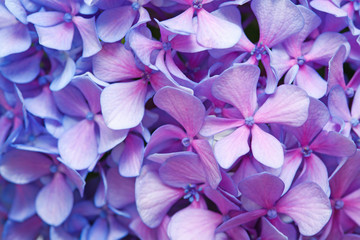 Foto op Canvas Hydrangea lilac-blue hydrangea background