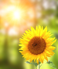 Fototapete - Bright yellow sunflower