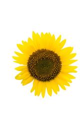 """""""Child"""", Sunflower in Summer"""