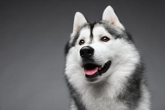 Portrait of siberian husky on gray background