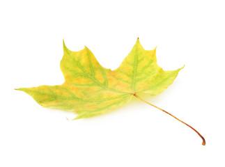 Green autumn maple leaf isolated