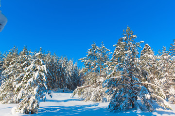 Snow Covered Trees