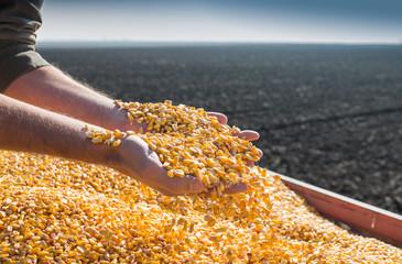 Corn seed