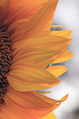 sunflower petals close-up