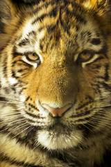 Close Up Portrait Of Amur Tiger Cub Outdoors