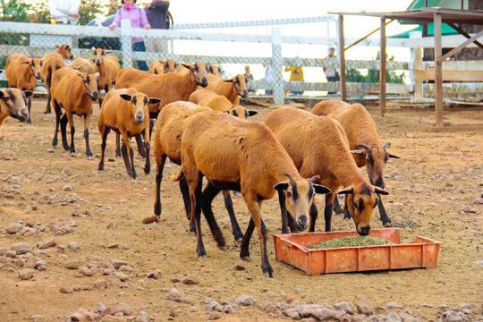 Herd of eating Barbado Blackbelly sheep