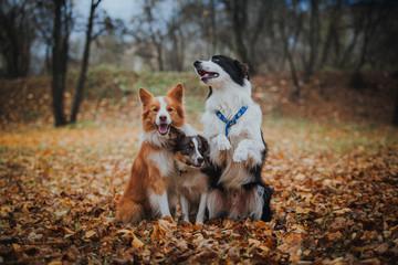 obedient dog breed border collie. Portrait, autumn, nature