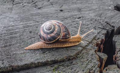 Little snail on a tree stump