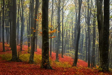 Red leaves and a foggy day in the forest