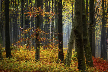 Forest during fog in autumn