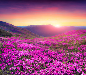 Wall Mural - Magic pink rhododendron flowers in the mountains.