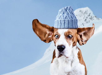 beagle in blue cap