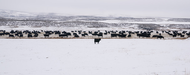 Ranch Cattle Endure the Winter's Cold Snow