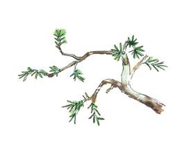 Branch of juniper tree, vector illustration
