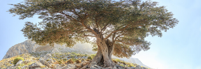 Centuries old branchy olive tree panoramic view