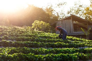 Farmer harvesting strawberries in organic cascade field