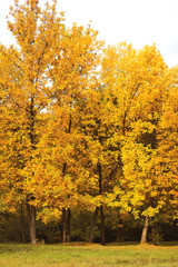 Autumn forest, yellow trees landscape