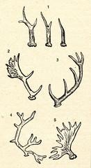 Antlers 1roe deer 2fallow deer 3red deer 4reindeer 5moose