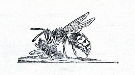 Wasp, nibbling off fly's leg