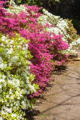 Pink and white azalea blossom