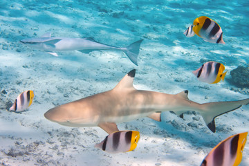 Shark over a coral reef at ocean..