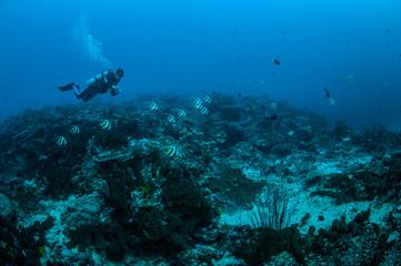Photo sur Aluminium Recifs coralliens Diver, bannerfish in Gili Lombok Nusa Tenggara Barat underwater