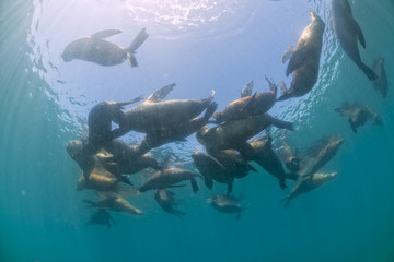 Seal family sea lion underwater looking at you