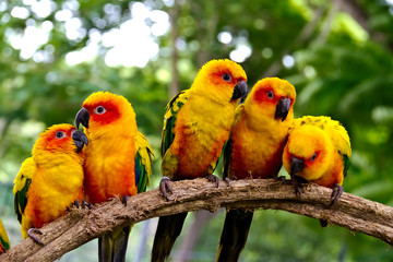 group of  conures parrots are sitting on a tree branch