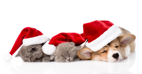 Pembroke Welsh Corgi puppy with red santa hats and two kittens