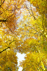 Looking up through autumn trees, nature background.