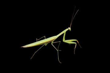 Praying mantis isolated on black
