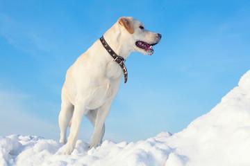 ladbador dog on the snow