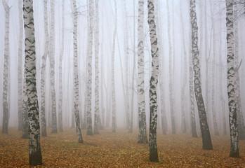 Głęboko mgła w jesiennym lesie brzozowym - 72721762