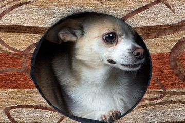 Photo of puppy chihuahua in the kennel