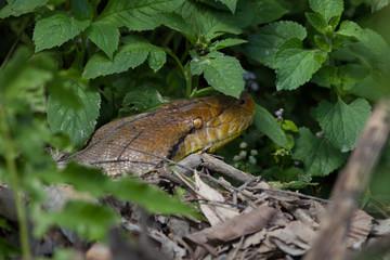 Close up of Reticulated python(Malayopython reticulatus) head