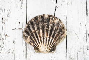 Shell on white wood background.Still life beach.