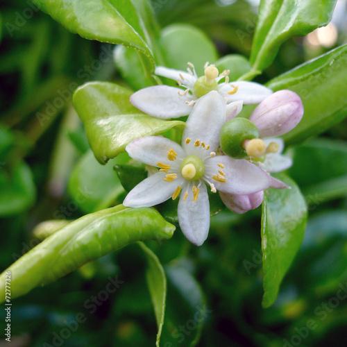 Combava Ou Combawa Fleur Jardin Creole La Reunion Stock Photo