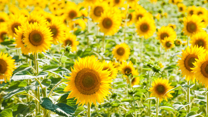Yellow sunflowers on a blue sky background in Tuscany, Italy