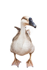 brown goose isolated on white
