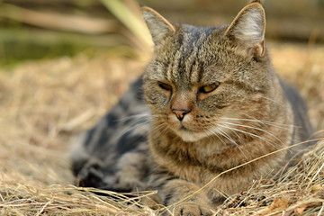 Resting domestic cat