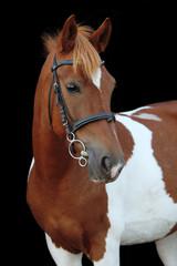 Beautiful skewbald welsh pony portrait